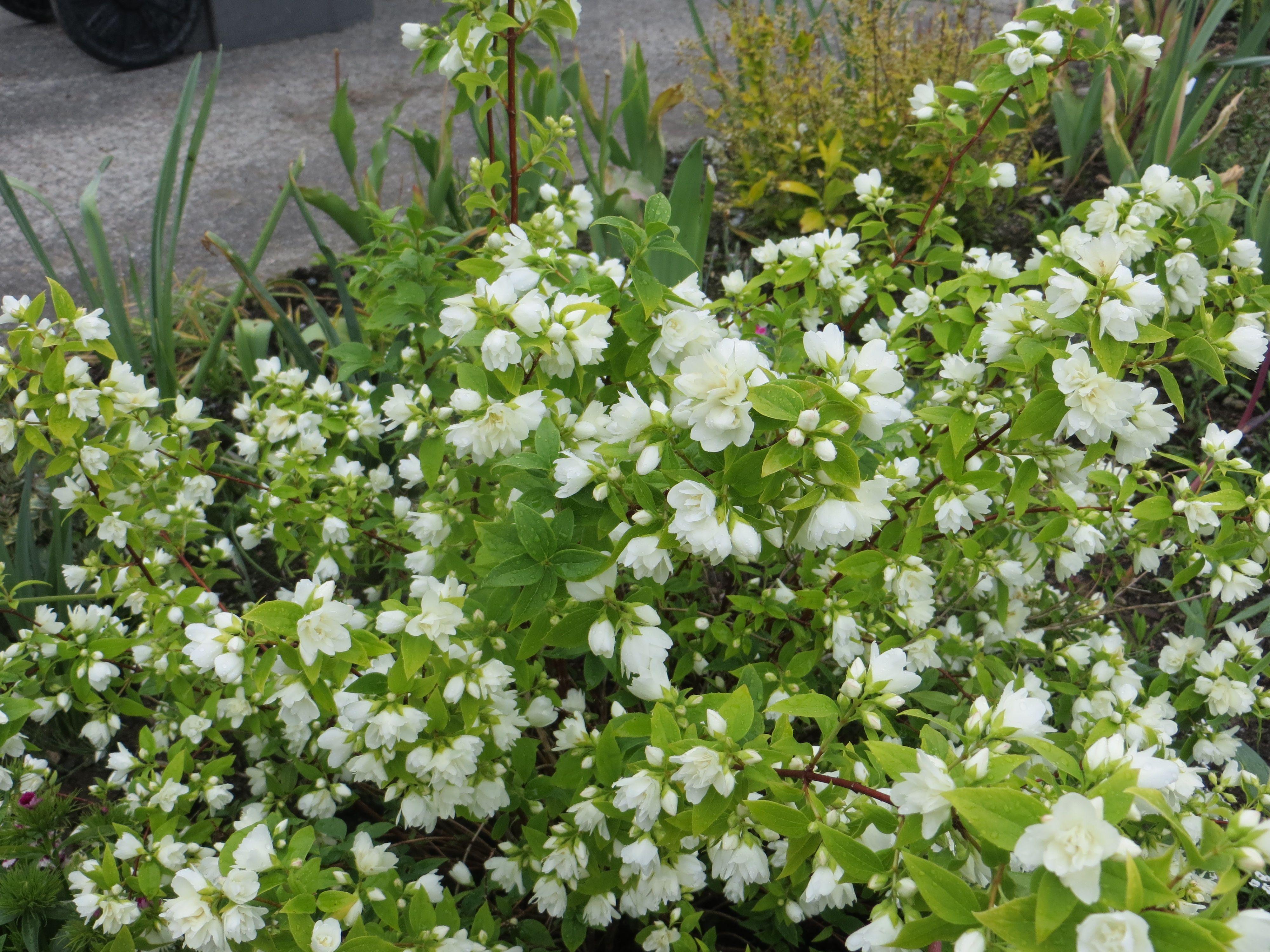 Philadelphus lemoinei 39 manteau d 39 hermine 39 garden home exterior pinterest plants and gardens - Philadelphus manteau d hermine ...