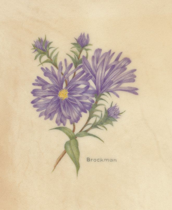 Watercolour Aster Flower For September Swaster Jpg 660 805 Pixels Aster Flower Tattoos Tattoos Watercolor Tattoo Flower