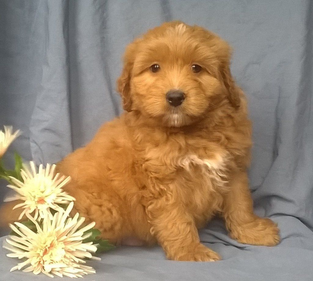 Danny Male Aussiepoo Full Price 1095 Deposit Male Golden