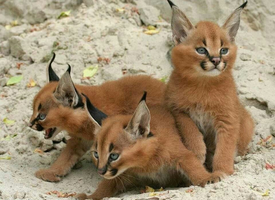 Caracal kitten's