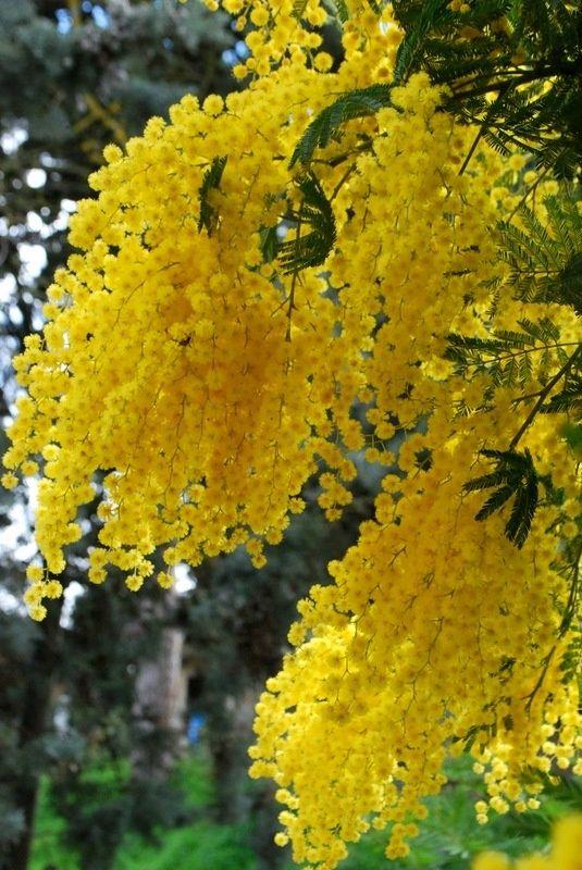 flor de jardim amarela:Yellow Mimosa Tree