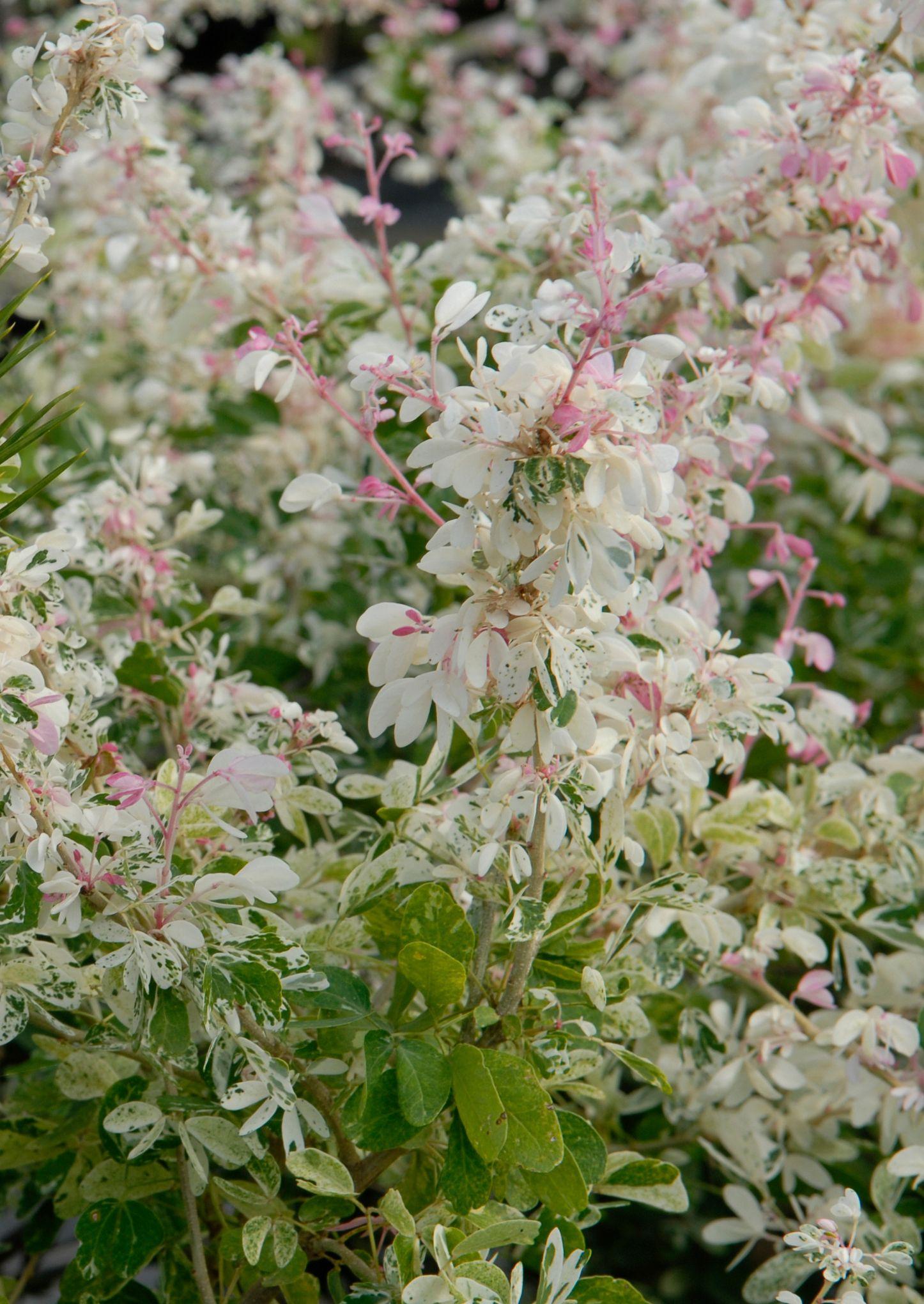 Snow Bush For Shade Garden Breynia Disticha Roseo