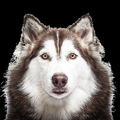 Husky Png Transparent Animal Faces Siberian Husky Dog Face