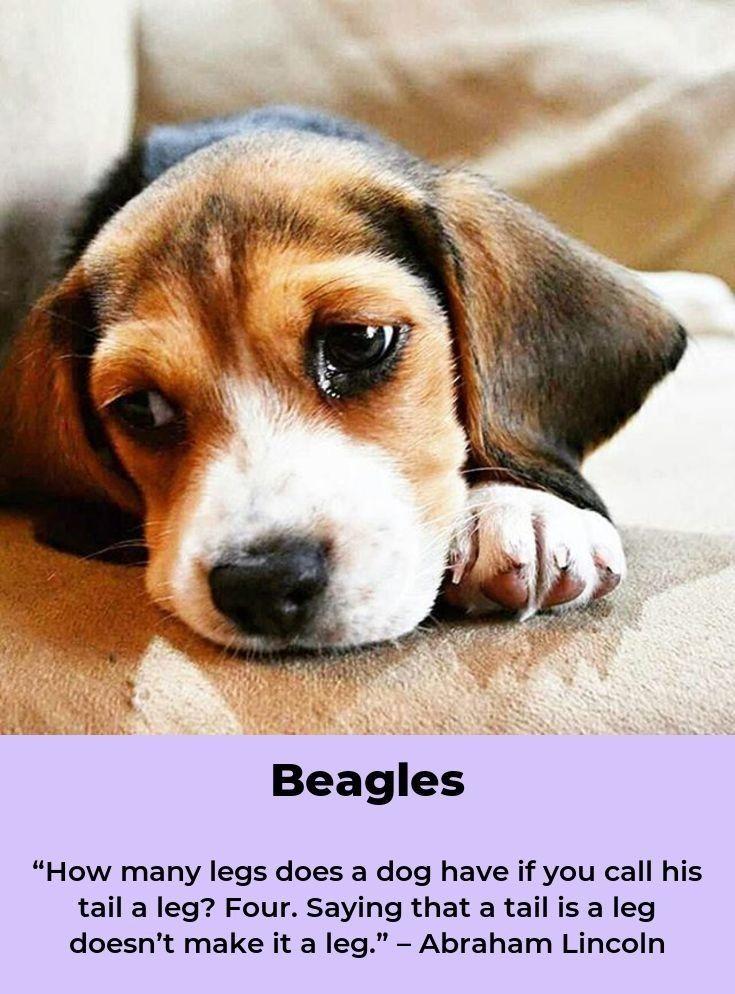 Beagle Puppy Beagleworld Pocket Beagles Babies And Cute Furbies