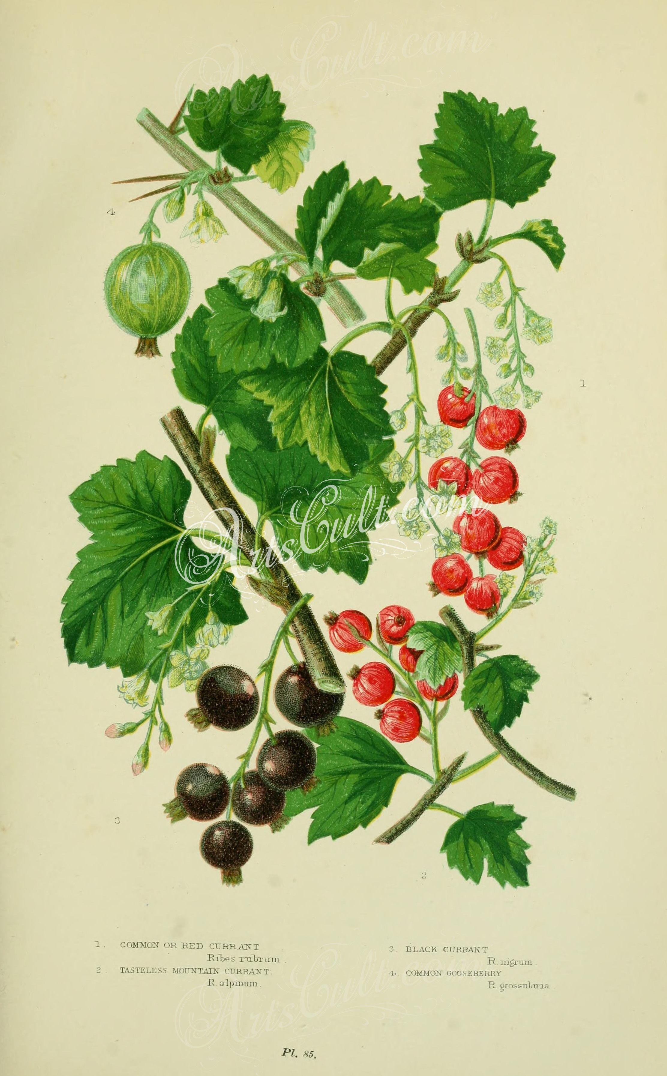 009 common or red currant tasteless mountain currant black 009 common or red currant tasteless mountain currant black currant common gooseberry black currantsbouquet flowersbouquetsmountain dhlflorist Images