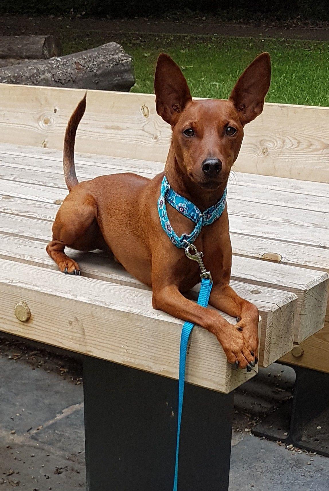 Pin By Nadine Granzow On Lucky The Min Pin Doberman Pinscher Puppy Mini Pinscher Dog Quiz