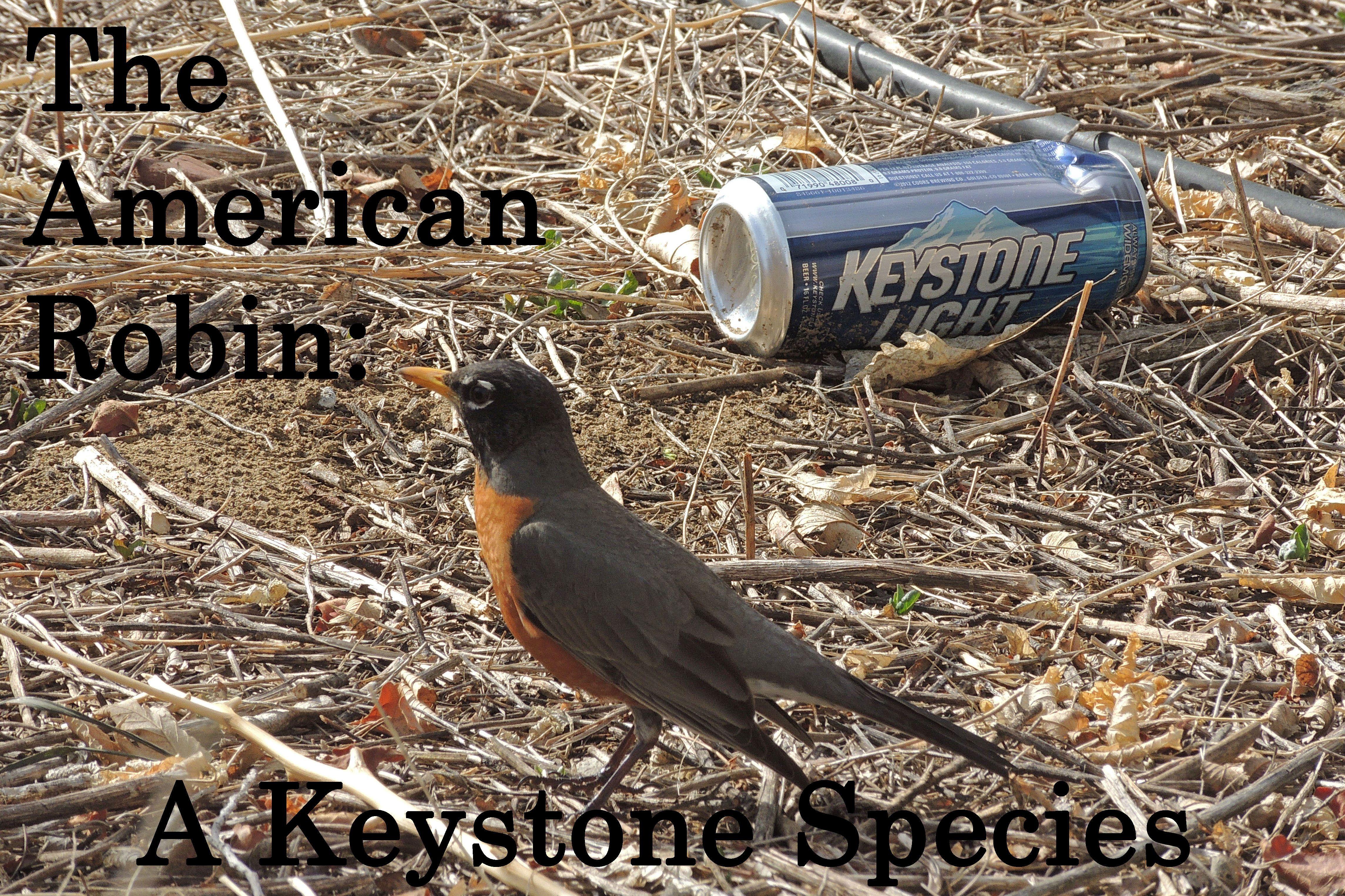 American Robin Keystone Meme Bird Memes Wild Birds Birds