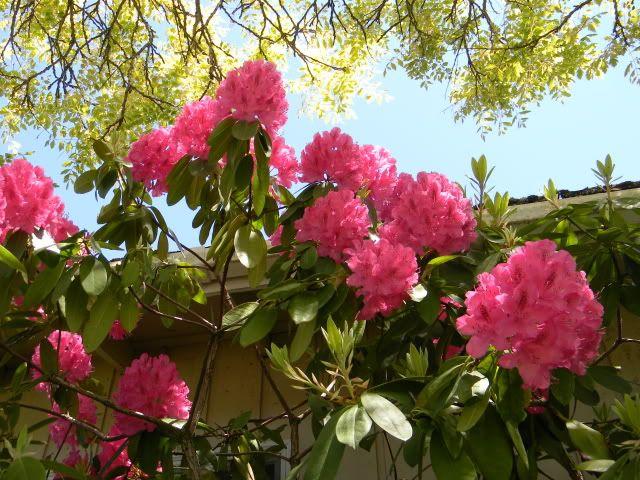 Rhododendrun