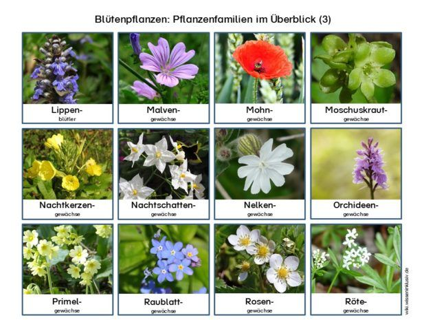 herbarium pflanzenfamilien bl tenpflanzen sachkunde schule bl tenpflanzen pflanzen und. Black Bedroom Furniture Sets. Home Design Ideas