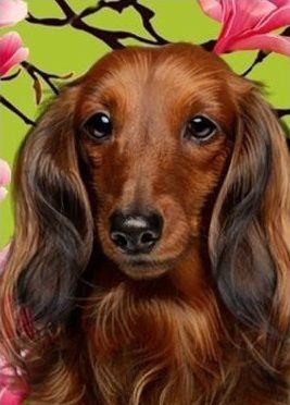 Dachshund Clube Long Haired Dachshund Dachshund Dog Wiener Dog