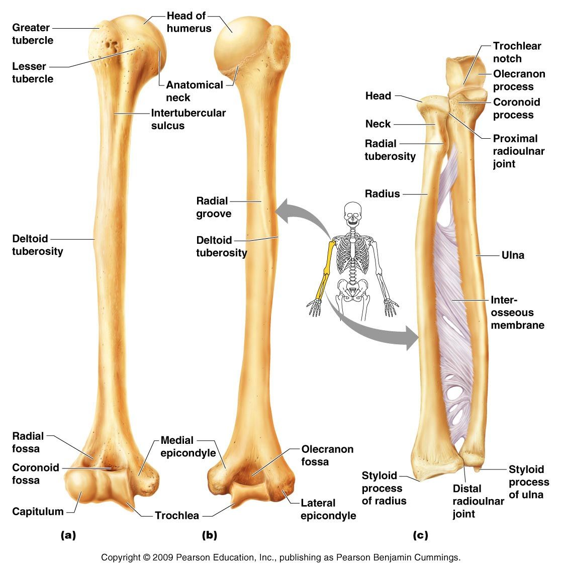 Humerus, Radius, Ulna | Anatomy & Physiology | Pinterest | Anatomy ...