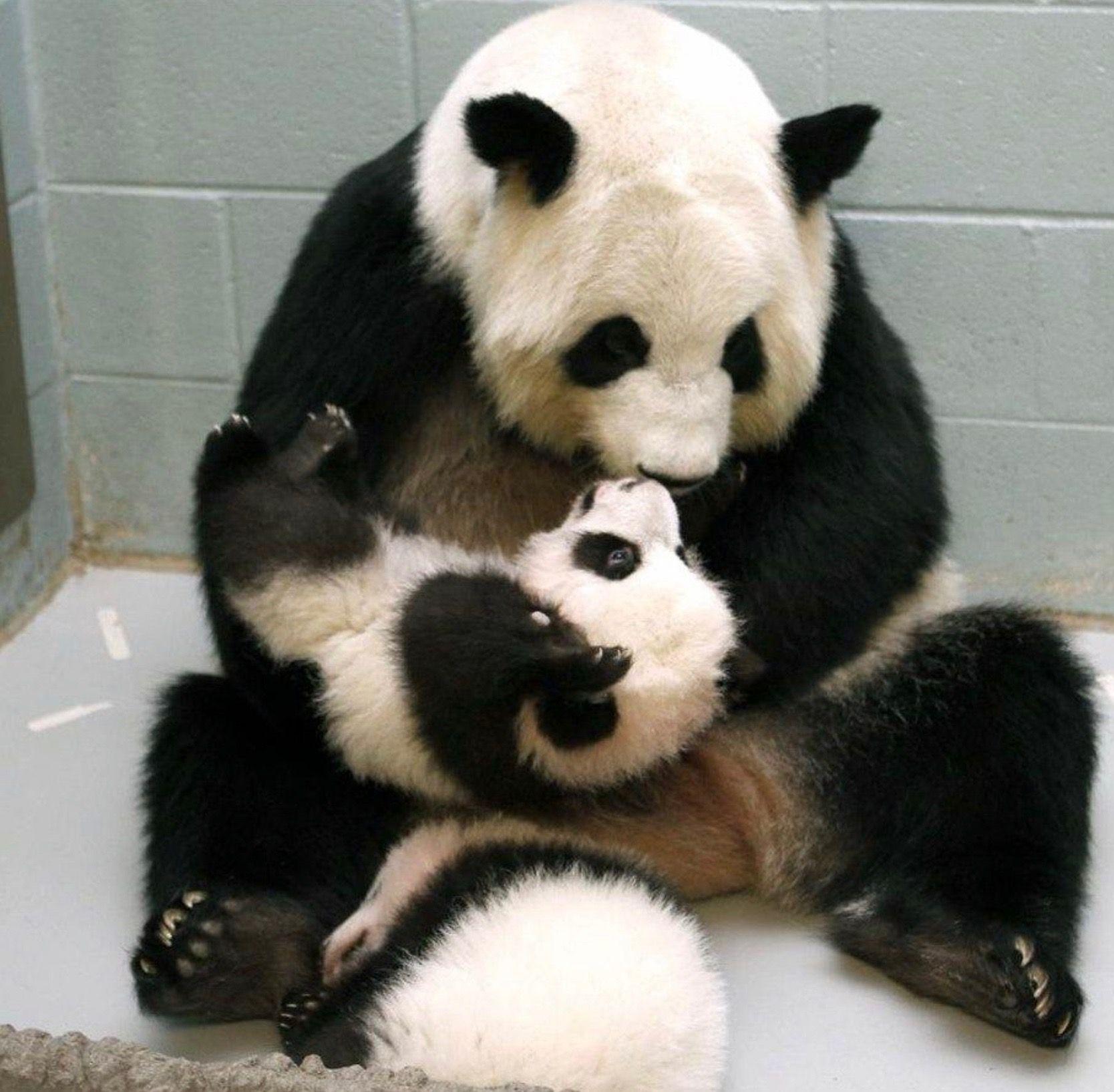 Panda Kisses Panda Panda Bear Worlds Cutest Animals