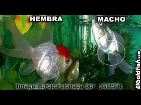 Como averiguar el sexo de tus Goldfish