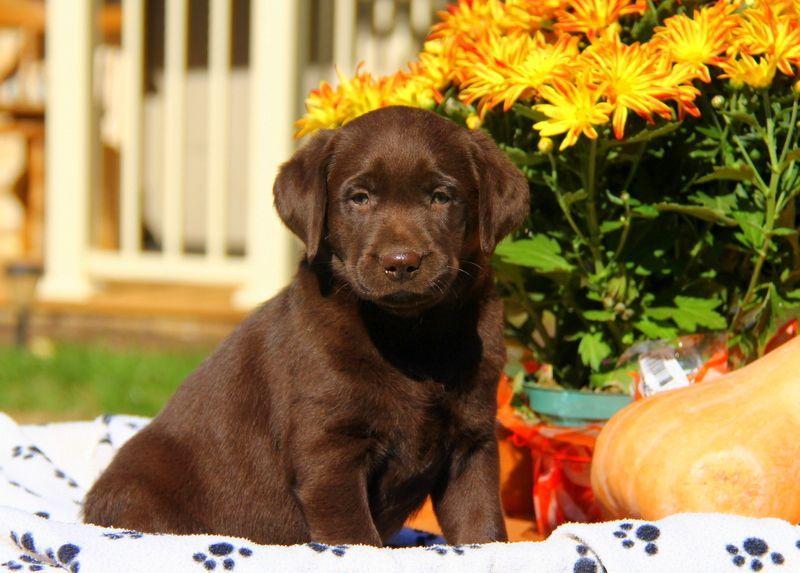 Chocolate Labrador Retriever Puppies For Sale Labrador Retriever Labrador Retriever Puppies Labrador