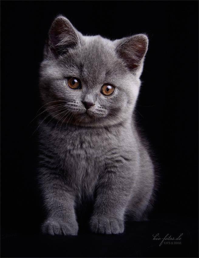 Kio Fotos De Timeline Photos Kittens Cutest Grey Kitten Kittens