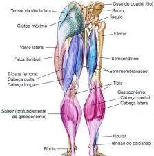 Mapa Dos Musculos Pesquisa Google Osso Do Quadril Mapa