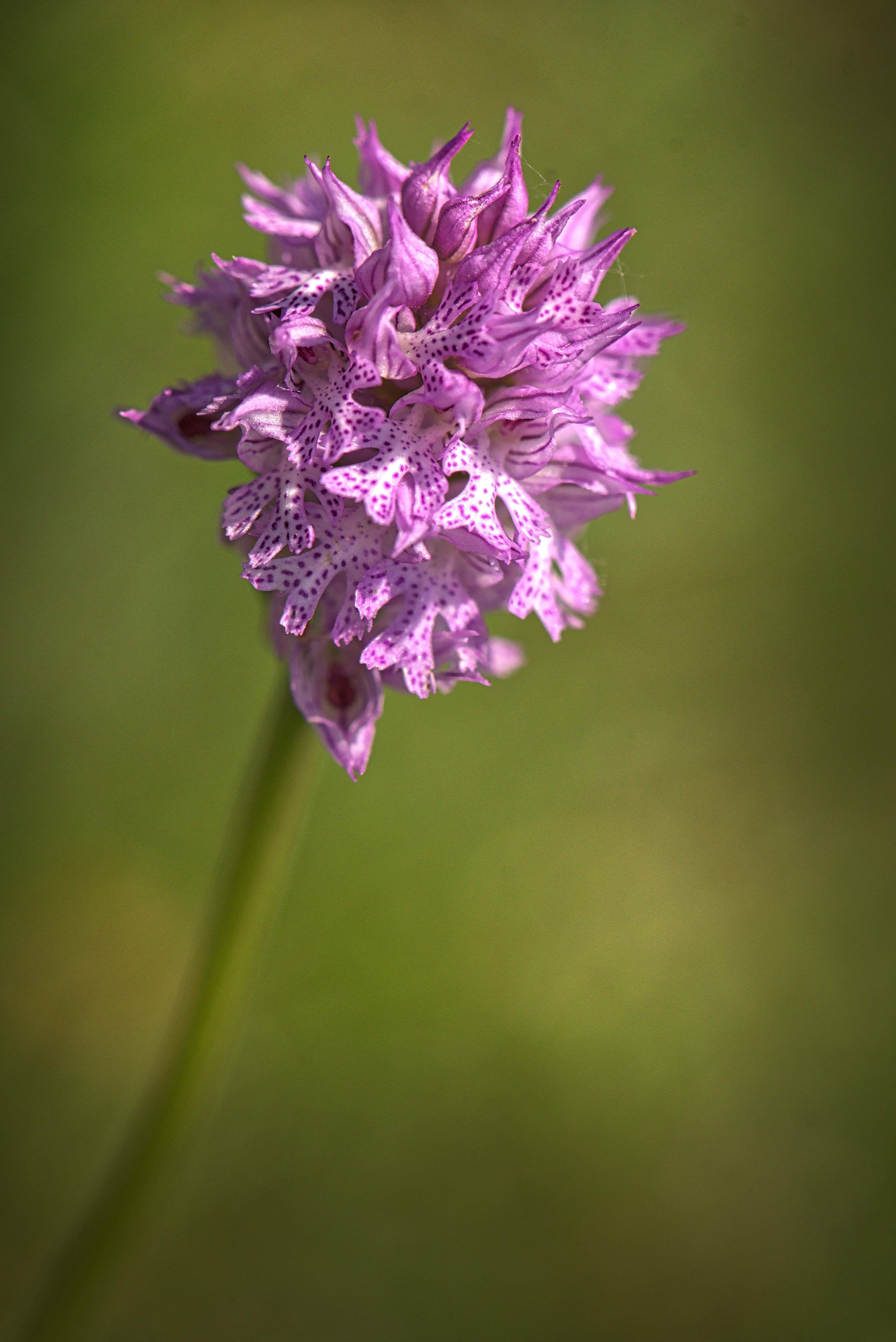 orchidee sauvage vercors