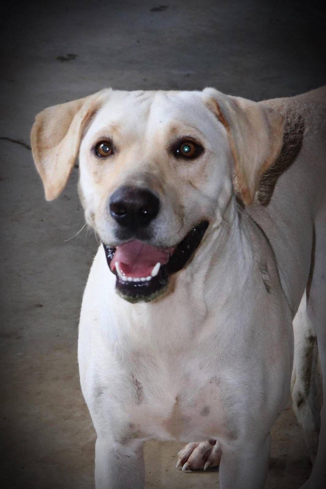 Adopt Lila on Labrador retriever, Labrador retriever mix