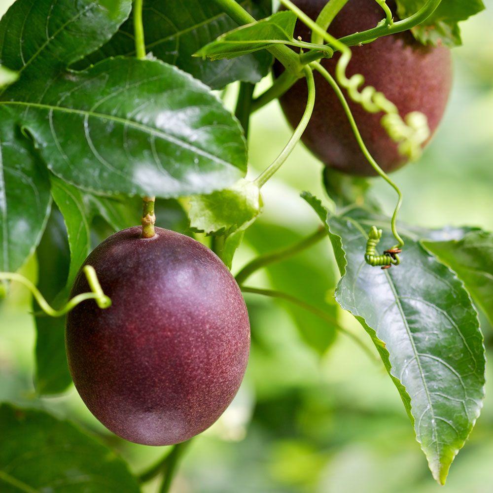 Growing passionfruit passionfruit vine fruit trees