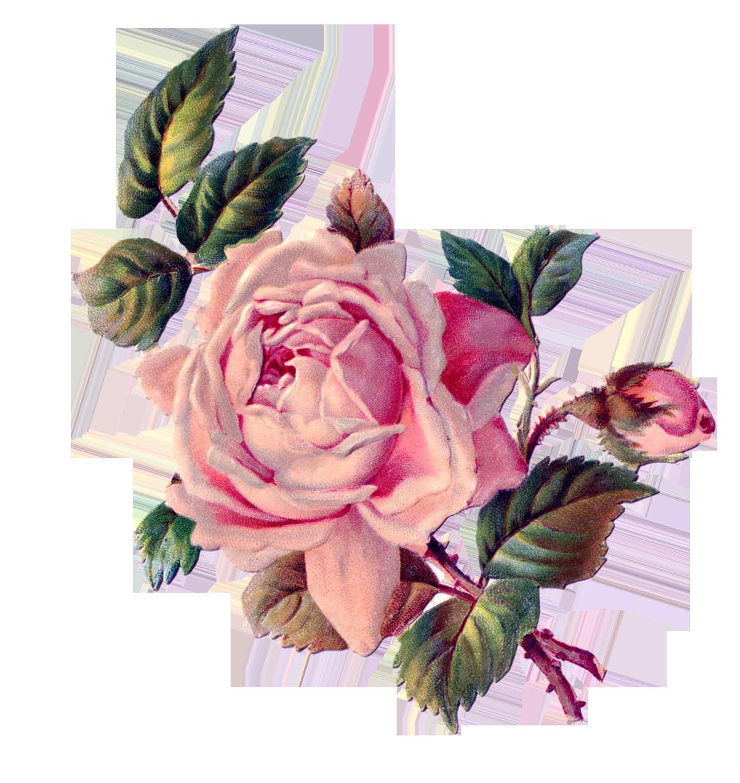 Роза винтаж картинка