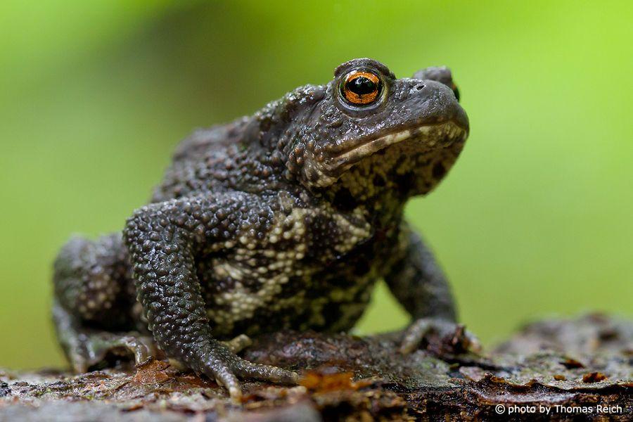 Erdkrote Ausgestopftes Tier Tiere Amphibien