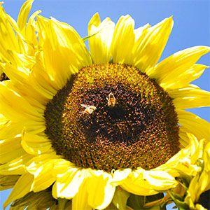 Las abejas que son fundamentales para el proceso de for Plantas fundamentales