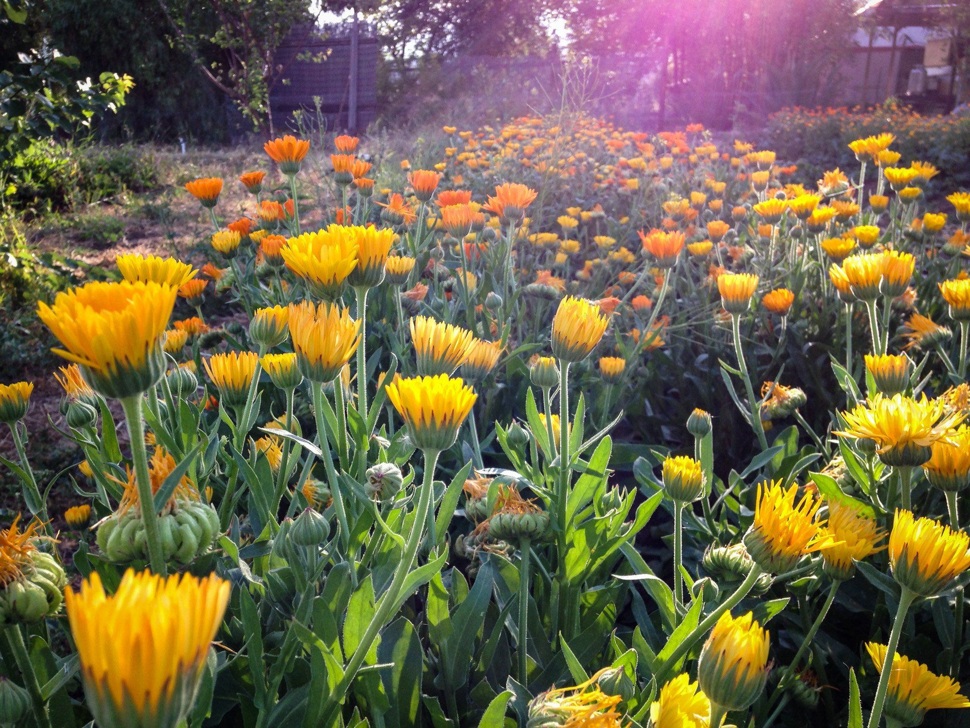 How To Make & Use Calendula Oil Calendula, Medicinal