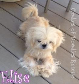 Adopt Nj Elise On Pekingese Pet Adoption Pets