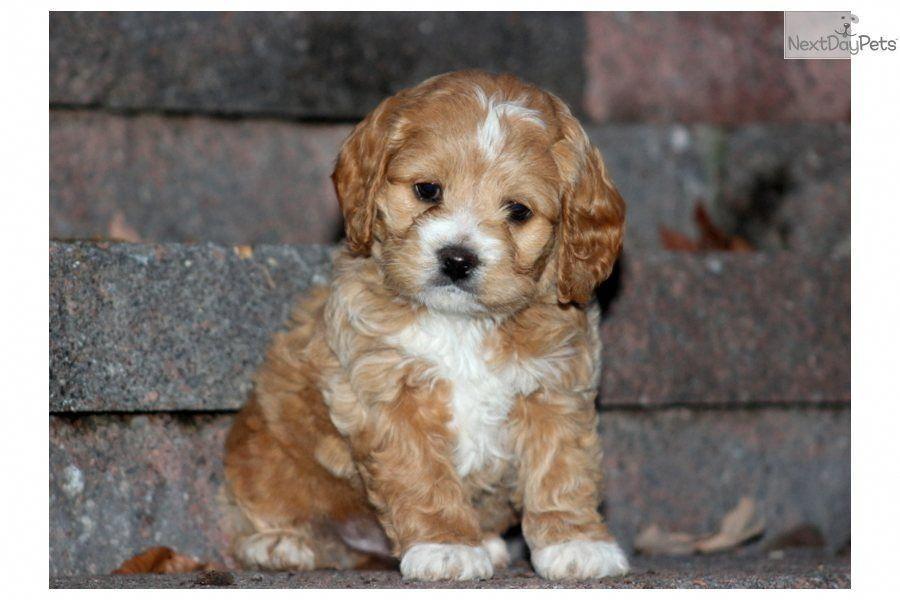 cockapoo Google Search Puppies, Cockapoo puppies