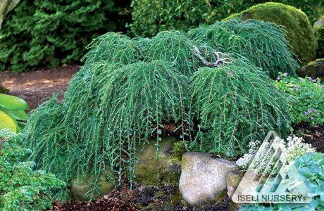 Ornamental Conifers Conifers Garden Evergreen Garden Weeping Trees