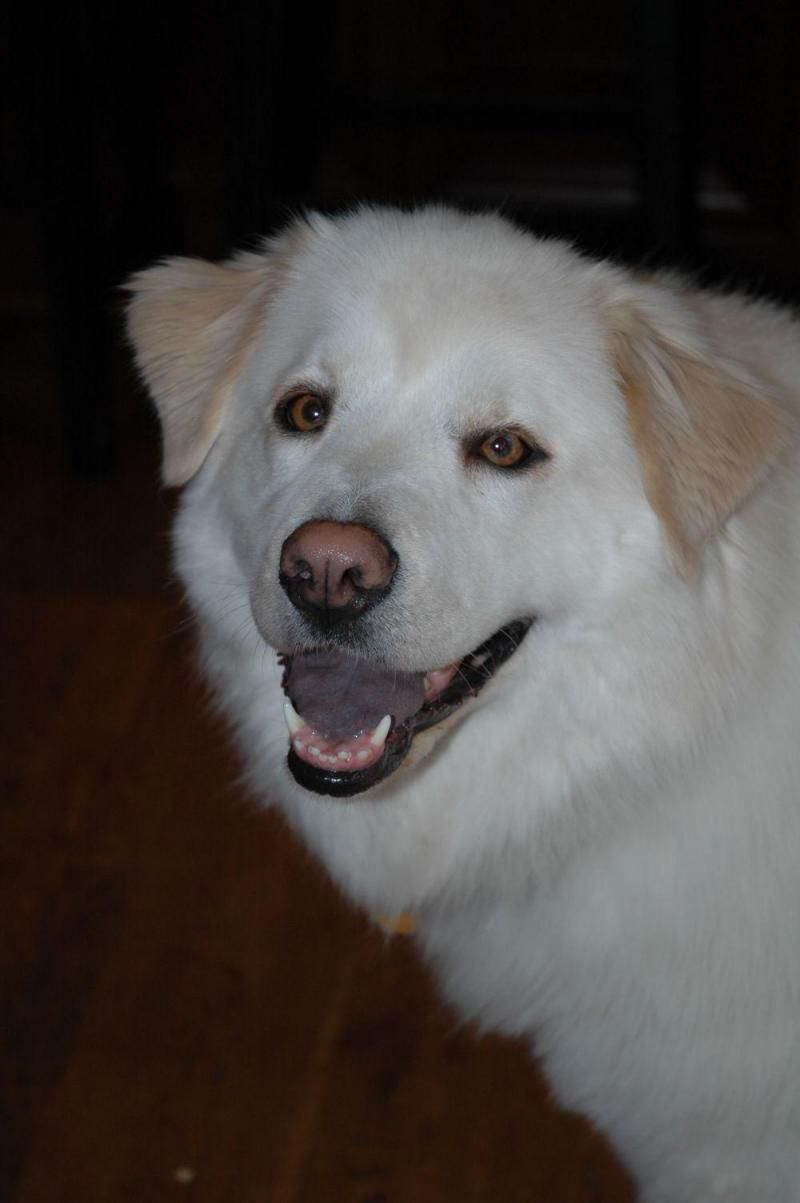 Meet Valspar (Sarah's pup), a Petfinder adoptable Husky Dog | Alpharetta, GA | Well howdy! My name is Valspar and I am an adorable and lovable ball of fluff. I'm two years old,...