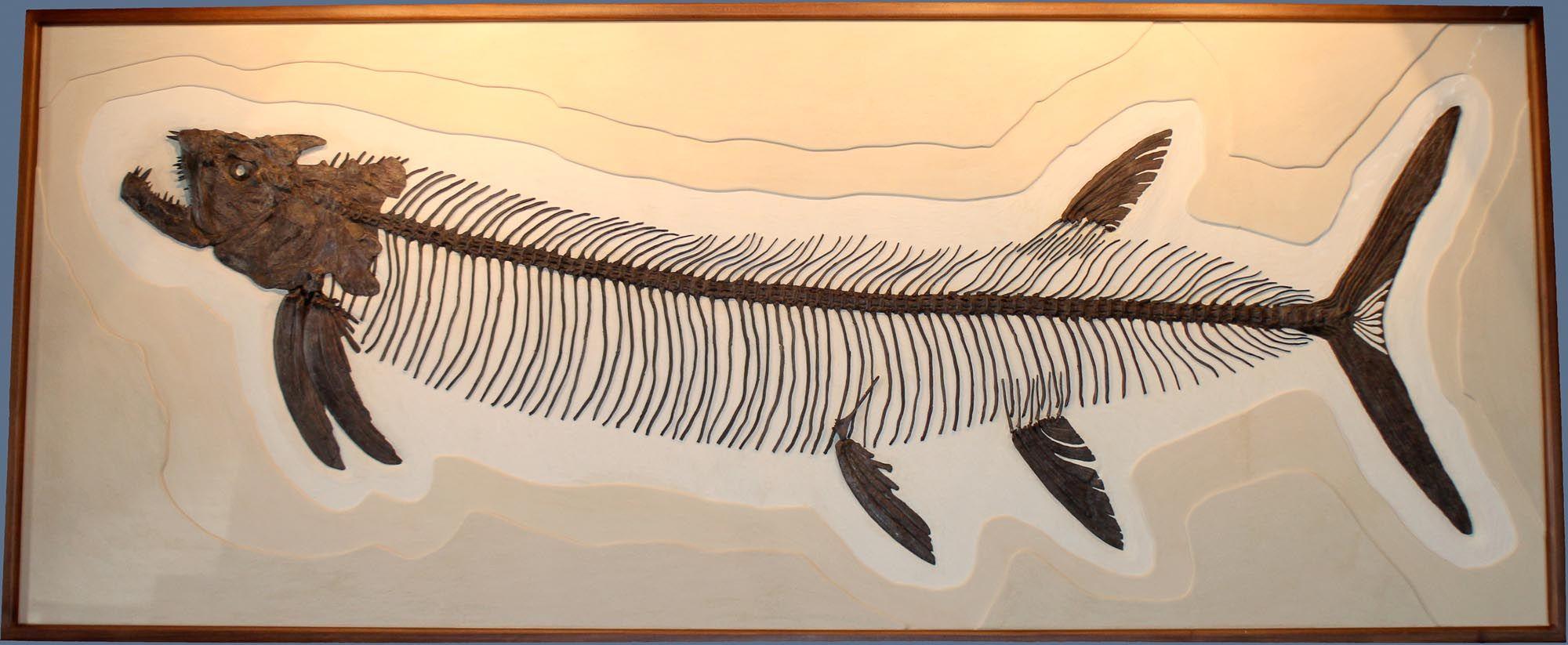 Xiphactinus audax skeleton, measuring almost 10' long (3 ...
