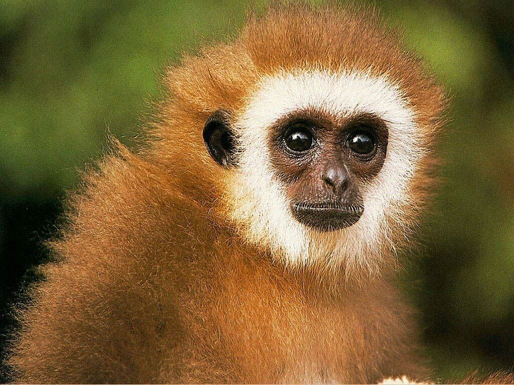 Spider Monkey HD Wallpapers Cute Baby