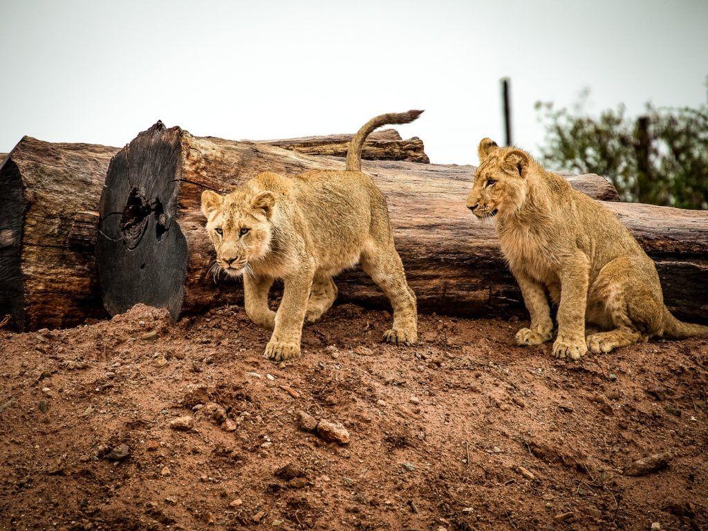 Animales Felino Leopardos Fondo De Pantalla Fondos De: Fondo De Pantalla De Leones, Crías, Felinos, Salvajes