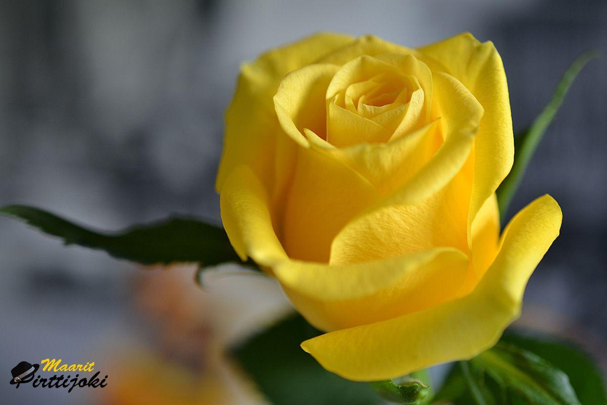 Mellow Yellow Beautiful Roses Flowers Tree Mushrooms