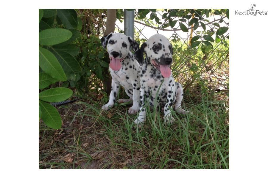 dalmatian pups for sale in essex