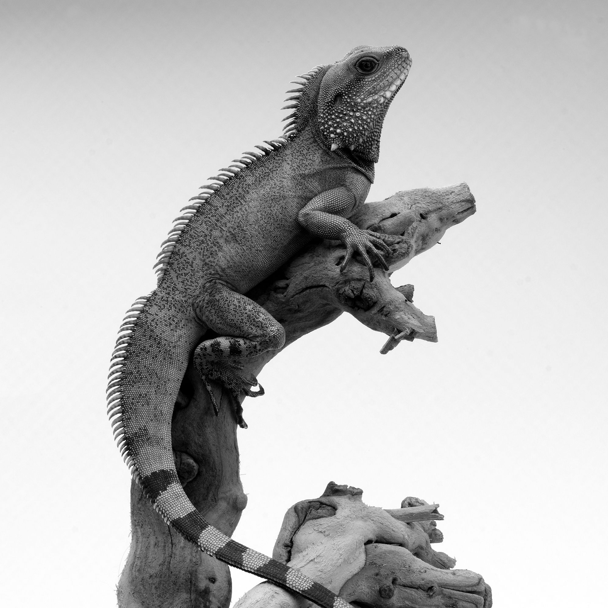 Chinese water dragon used to have 3 of theses.. speedy