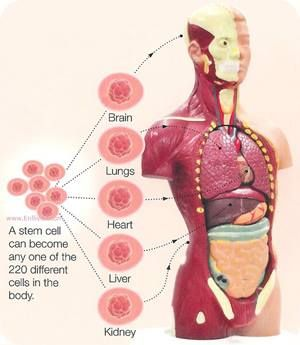 Key Characteristics Of Stem Cells Building Blocks Of The Body