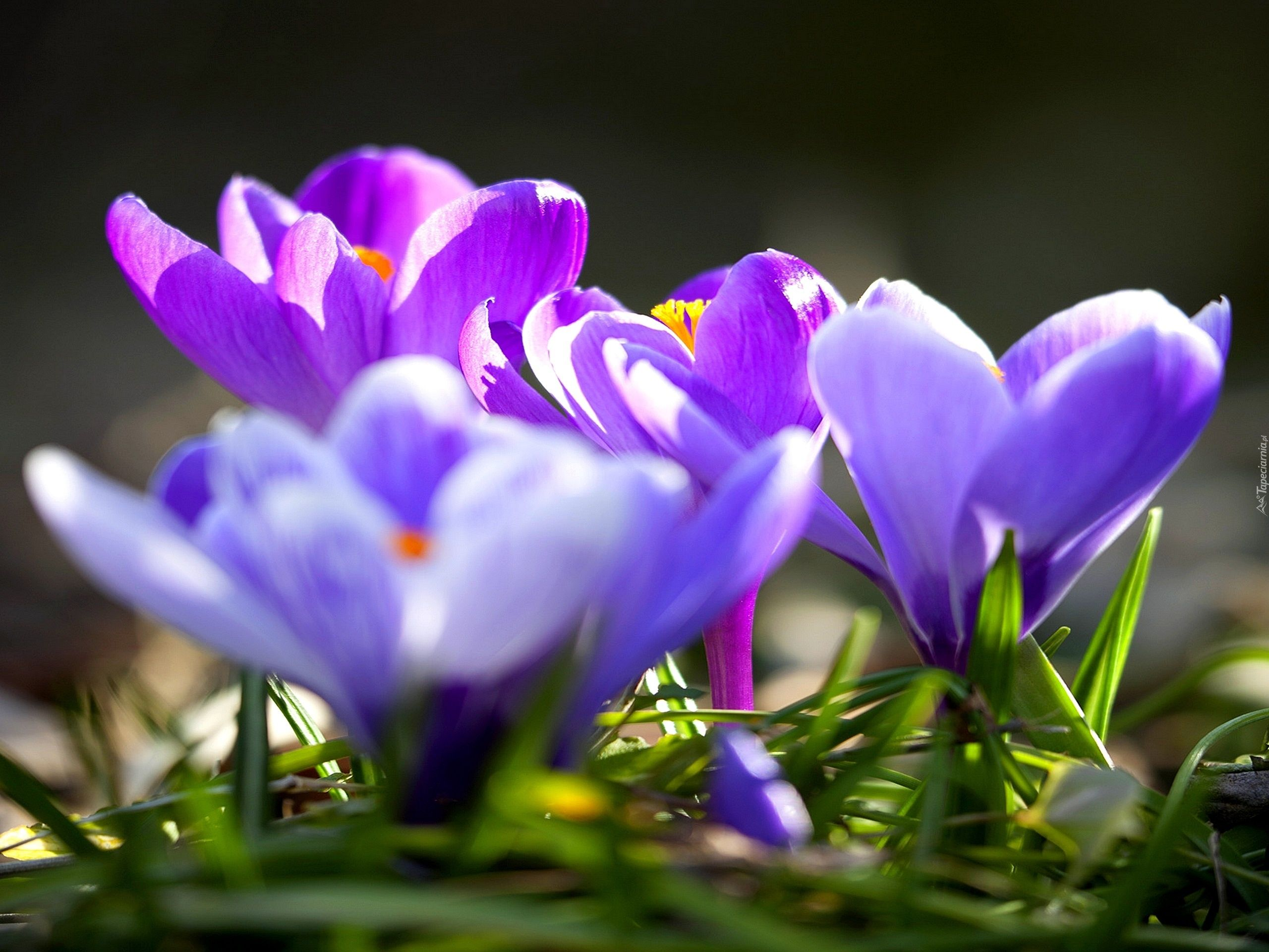 Krokusy Wiosna Plants