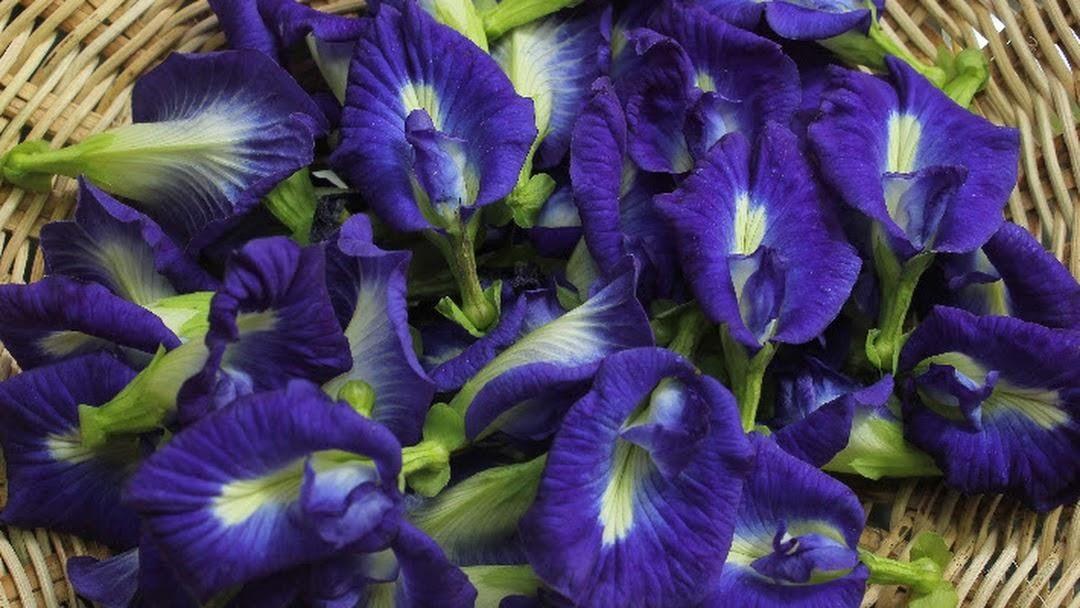 Bunga Telang Si Cantik Dengan Segudang Manfaat Ide Berkebun Tanaman Obat Tanaman