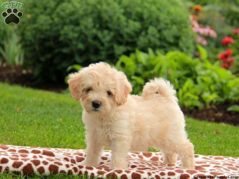 Havapoo Puppies For Sale Havapoo Dog Breed Profile Havapoo