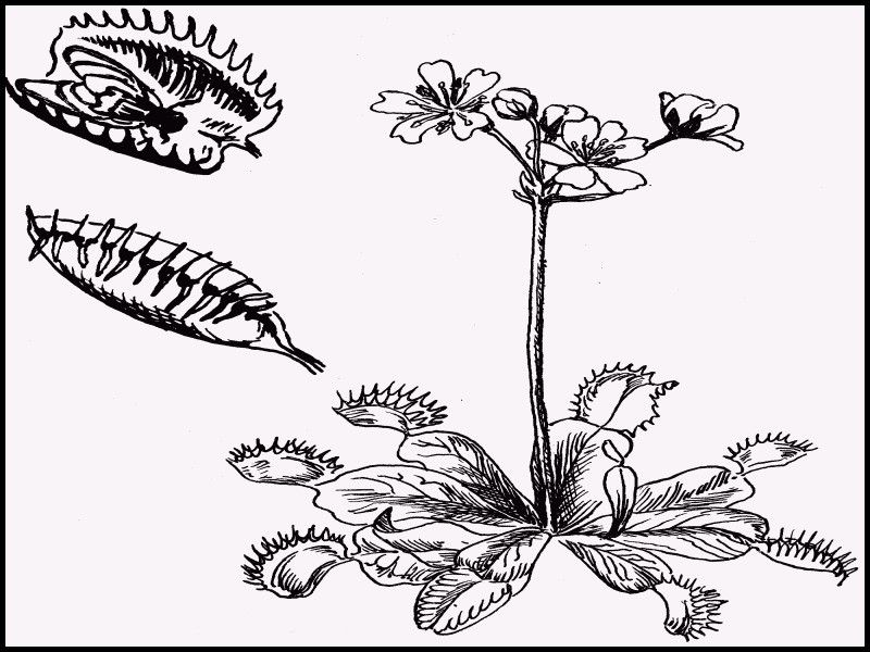 Beautiful Venus Fly Trap Drawing Venus Fly Trap Fly Traps Coloring Pages