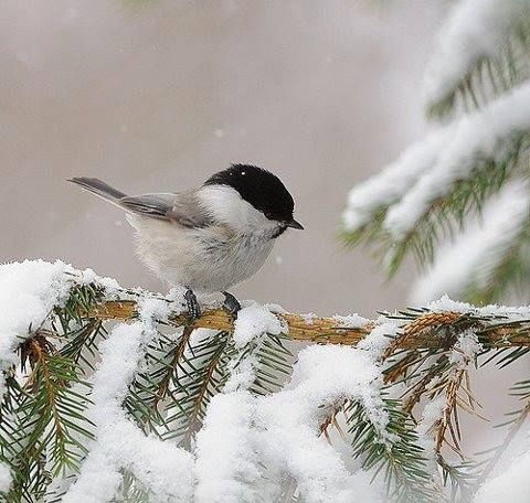 Image result for pine trees in the snow chickadees