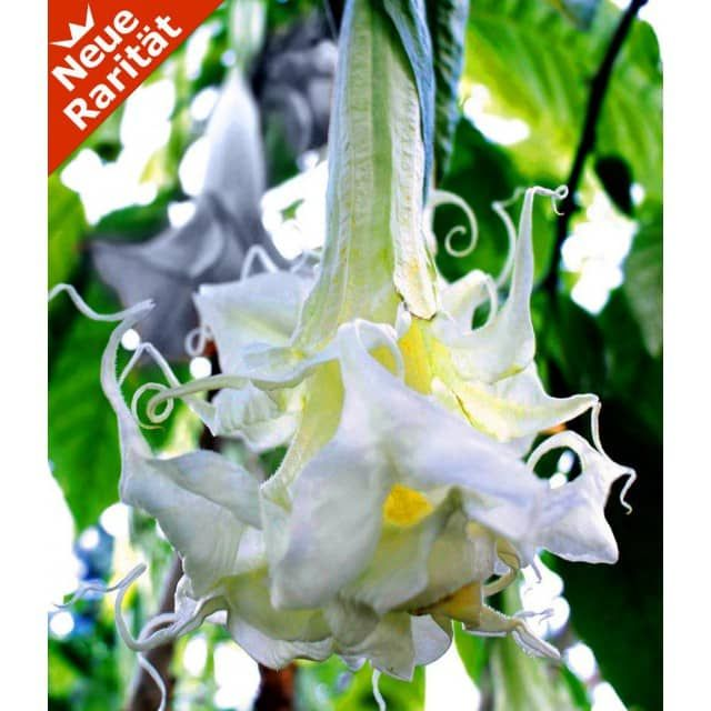 Engelstrompete \u0027Summer Magic\u0027, 1 Pflanze - BALDUR-Garten GmbH