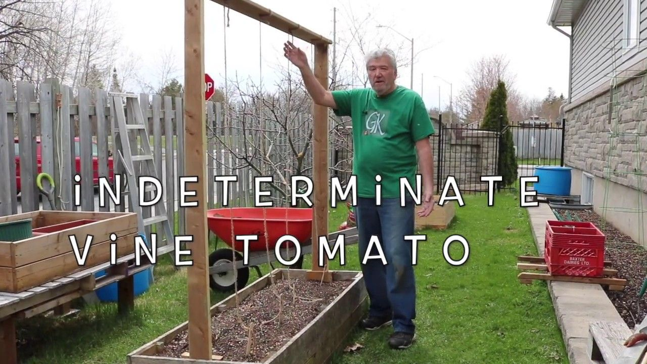 Grow tomatoes on strings in 2020 growing tomatoes