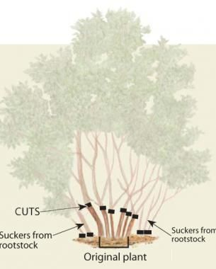 Fine Gardening. Com. The Best Lilac Pruning Article Out There. Second Page  Of