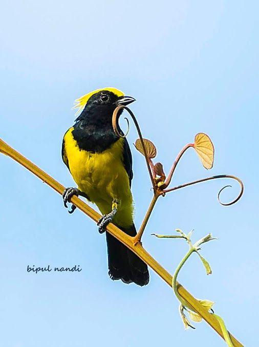 SULTAN TIT Source :- Bipul Nandi #birds #photography #birdphotography #nature…