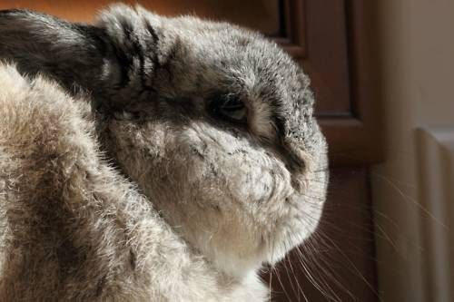 Fluffy Bunny in Profile - January 23, 2012
