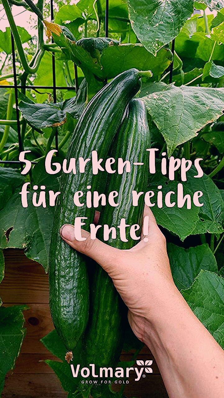 Photo of Gurken pflegen und ernten – Meine Tipps für eine reiche Ernte