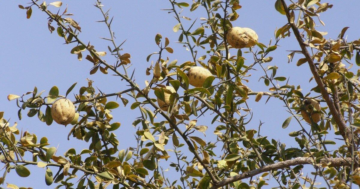 بلح الصحراء هجليج Agriculture Olive Fruit